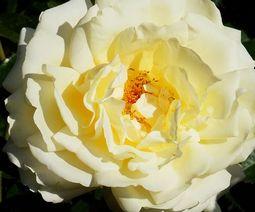 анализ стиха цветок тургенева